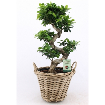 Ficus Microcarpa Ginseng S-type in rotan mand