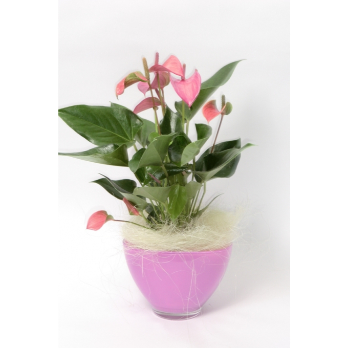 Anthurium in roze glas coupe met wooly