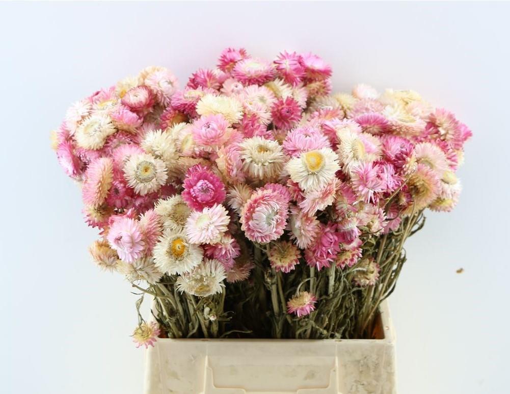 Helichrysum licht roze gedroogd