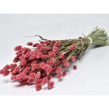 Phalaris gedroogd gekleurd roze