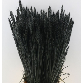 Tarwe zwart gekleurd gedroogd