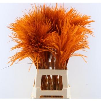 Fluffy reed gras oranje