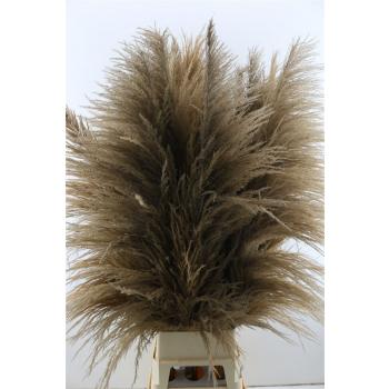 Pampasgras pluimen bruin lang gedroogd goed gevuld XL