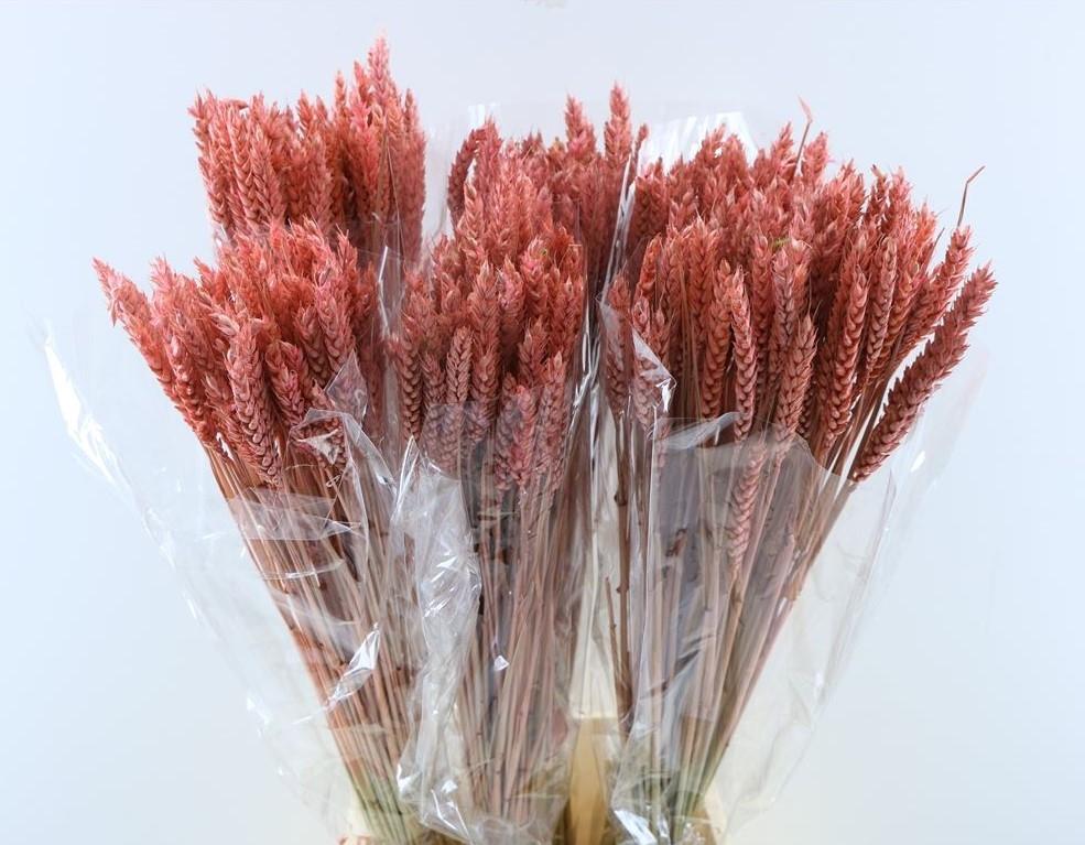 Tarwe roze gekleurd gedroogd