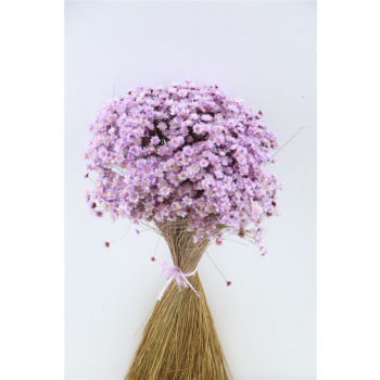 Glixia (Star flower) lavendel 100 gram gedroogd