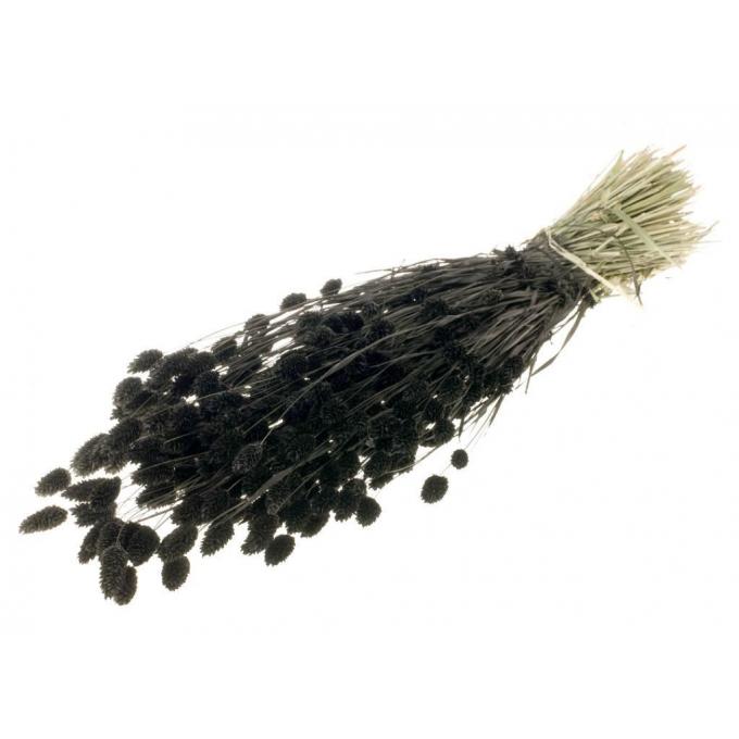 Phalaris gedroogd gekleurd zwart