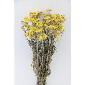 Achillea moonshine geel gedroogd